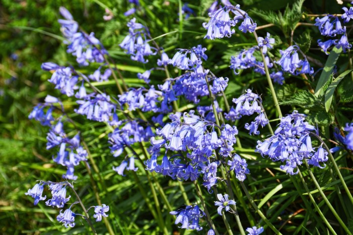Bluebells ou jacinthe des bois © French Moments