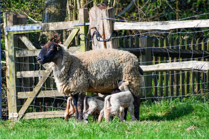 Maman mouton et ses petits, Burwash © French Moments